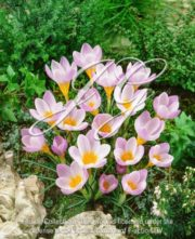 botanic stock photo Crocus Firefly