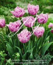 botanic stock photo Tulipa Matchpoint