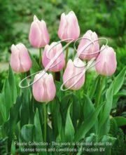 botanic stock photo Tulipa Gabriella