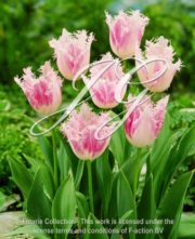 botanic stock photo tulipa Huis Ten Bosch