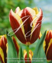 botanic stock photo Tulipa Gavota