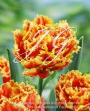 botanic stock photo Tulipa Fringed Beauty