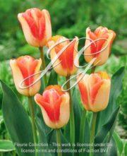 botanic stock photo Tulipa Spryng Sunrise