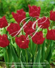 botanic stock photo Tulipa Barbados