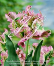 botanic stock photo Tulipa Green Wave