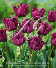 botanic stock photo Tulipa Muriel