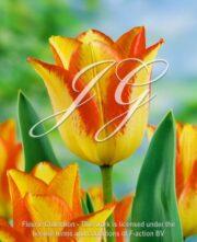 botanic stock photo Tulipa Fireline