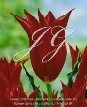 botanic stock photo Tulipa Lasting Love