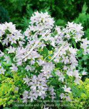 botanic stock photo Campanula Prichard's Variety