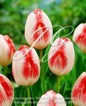 botanic stock photo Tulipa Salvo