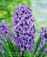 botanic stock photo hyacinthus Ostara