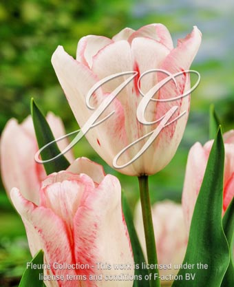 botanic stock photo Tulipa Kiss