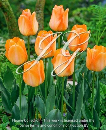botanic stock photo Tulipa Daydream