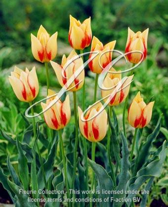 botanic stock photo Tulipa Marjolettil