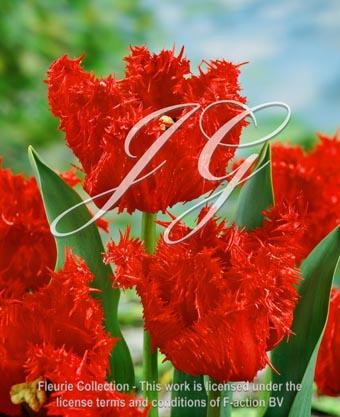 botanic stock photo Tulipa Tulipa Barbados