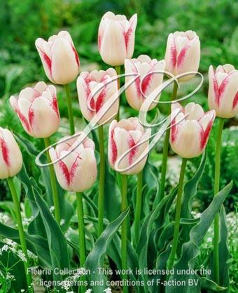 botanic stock photo Tulipa Tulipa Skagit Valley