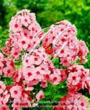 botanic stock photo Phlox Annabelle