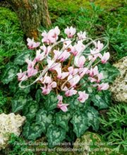 botanic stock photo Cyclamen hederifolium