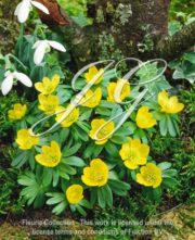 botanic stock photo Eranthis Hyemalis