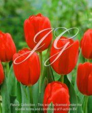 botanic stock photo Tulipa Friso