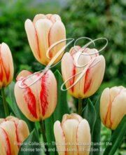 botanic stock photo Tulipa Surprise Star