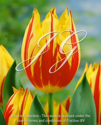 botanic stock photo Tulipa Mickey Mouse