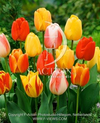 botanic stock photo Tulipa Tulipa