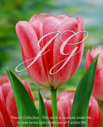 botanic stock photo Tulipa Tulipa Spring Kiss