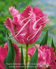 botanic stock photo Tulipa Fantasy