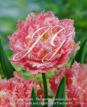 botanic stock photo Tulipa DC25-PW