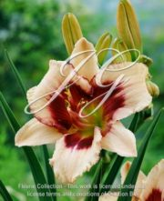 botanic stock photo Hemerocallis Blueberry Sundae