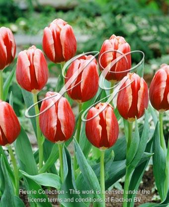 botanic stock photo Tulipa Tulipa Tenessee