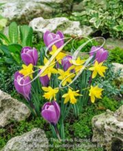 botanic stock photo Narcissus Minor-Crocus