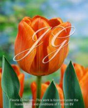 botanic stock photo Tulipa Cairo