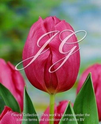 botanic stock photo Tulipa Purple Prince
