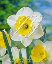 botanic stock photo Narcissus Occasionally