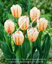 botanic stock photo Tulipa Surprise Star