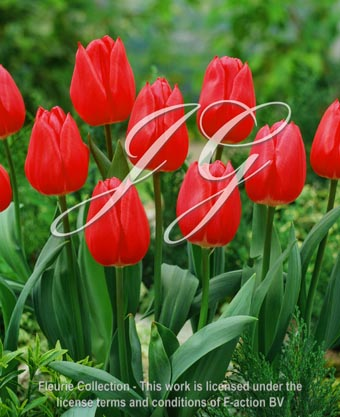 botanic stock photo Tulipa Christmas Marvel