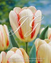 botanic stock photo Tulipa Tulipa Surprise Star
