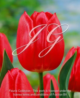 botanic stock photo Tulipa Christmas Marve