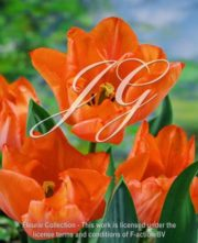 botanic stock photo Tulipa Jochem