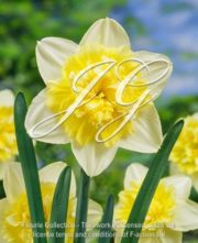 botanic stock photo Narcissus Ice King