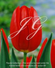 botanic stock photo Tulipa Cassin