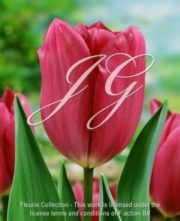 botanic stock photo Tulipa Blue Champion