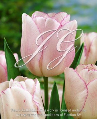botanic stock photo Tulipa Shirley