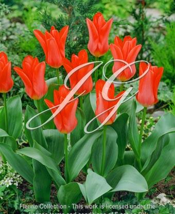 botanic stock photo Tulipa Tulipa Pink Emperor