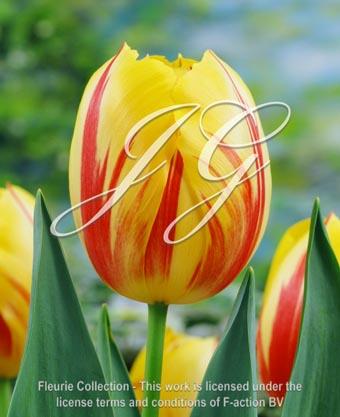 botanic stock photo Tulipa Tulipa Ida