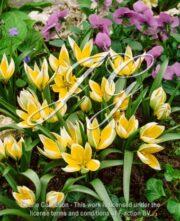 botanic stock photo Tulipa Tarda