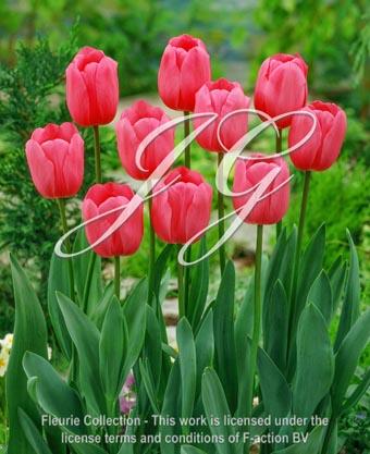botanic stock photo Tulipa Tulipa Don Quichotte