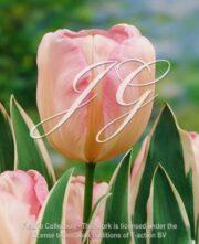 botanic stock photo Tulipa New Design
